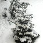 Bradut - dragut, ninge peste tine ...